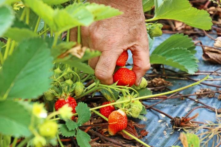Lämpimän alkukesän myötä mansikkakausi on tänä vuonna ajoissa. Arkistokuva.