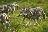 Suden kannanhoidollinen metsästys otetaan viisivuotiseen kokeiluun, jos laji todetaan kyllin elinvoimaiseksi