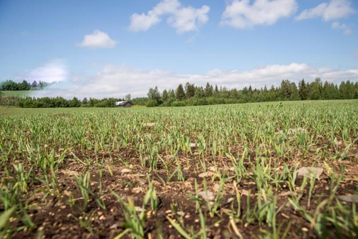 Ensin sateet viivästyttivät viljojen kylvöä, sitten on vaivannut kuivuus. Kuvassa ohra-kauraseosta ja heinäsiemenseosta Mulonsalossa.