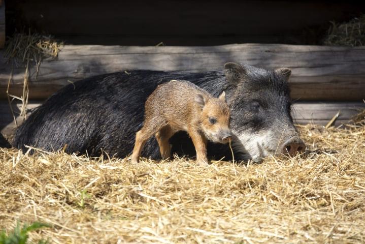Huulipekarit ovat saaneet ensimmäisen poikasensa Korkeasaaressa. Porsas on nyt viikon vanha ja lisää poikasia odotellaan vielä lauman toiselta emakolta. Lehtikuva / handout / Annika Sorjonen / Korkeasaari Zoo