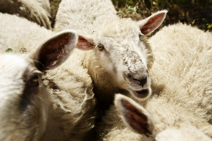 Lampaiden laittomia teurastuksia epäillään tehdyn Pohjanmaan lisäksi myös muualla. Kuvan tila tai eläimet eivät tiettävästi liity tapaukseen. LEHTIKUVA / RONI REKOMAA