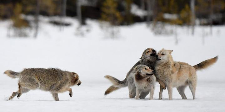 Kolme vuoden ikäistä nuorta sutta (Canis lupus) ja lauman johtajasusi (vaalea turkki) Kuhmon rajavyöhykkeellä 8. toukokuuta 2020. Pedot on kuvattu piilokojusta haaskaruokintapaikalta. LEHTIKUVA / JUSSI NUKARI