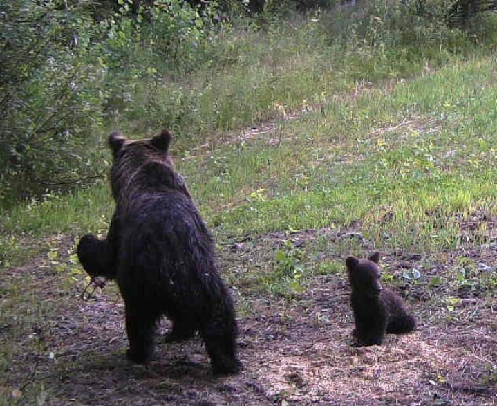 Enossa havaitulla loukkaantuneella karhuemolla onkin neljä pentua. Aiemmin pentuja luultiin olevan kolme. Kuva viime viikolta.