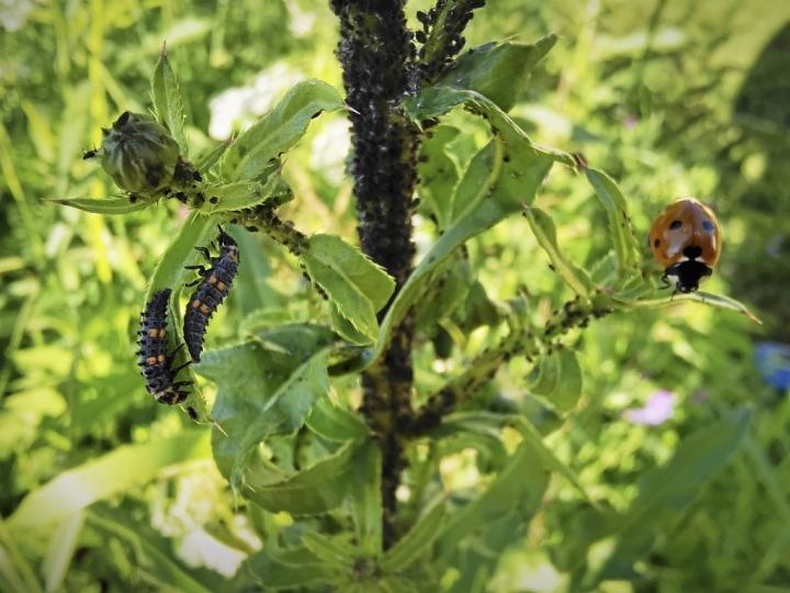 Leppäkertun toukat herättävät huomiota, sillä ne pysyttelevät näkyvillä lehdillä ruokaillessaan.