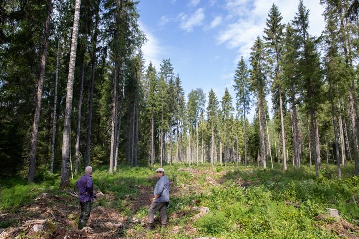 Kapeat, luontaisesti uudistumaan jätetyt korpikaistaleet ovat osa sovellettuja hakkuumenetelmä, kertovat UPM:n metsäasiantuntija Petri Reiman (vas.) ja ympäristöasiantuntija Juha-Matti Valonen.
