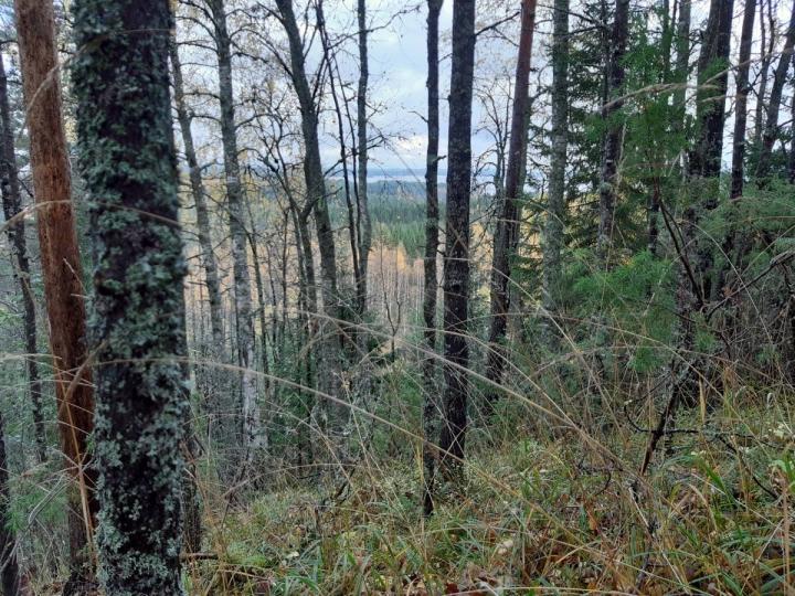 Harjurinteen metsää Pöllönvaaran-Kruununkankaan Natura-alueelta.