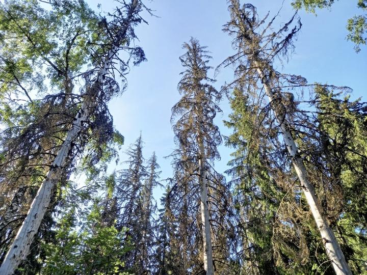 Tiirismaan huipulla on pystyyn kuolleita kuusia. Paljaissa rungoissa näkyy kuoriaistoukkien käytäviä.