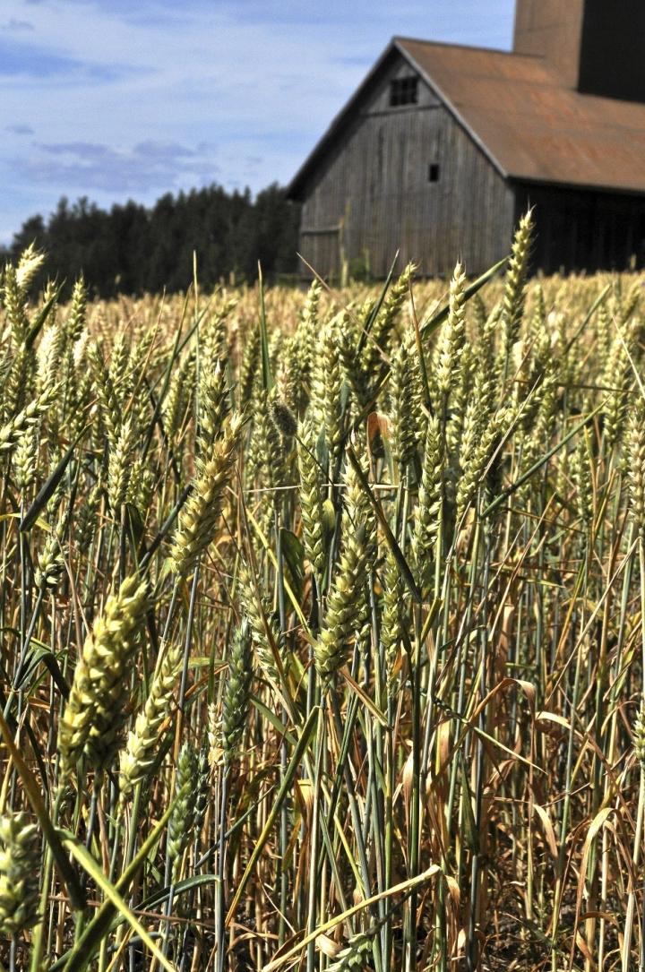 Syksyllä kylvetty vehnä ehti kasvattaa vankat juuret ennen kuivuutta.