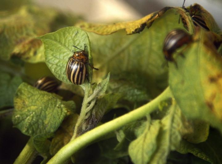 Aikuiset koloradonkuoriaiset ja toukat syövät aluksi perunan lehdet reikäisiksi. LEHTIKUVA / PEKKA SAKKI