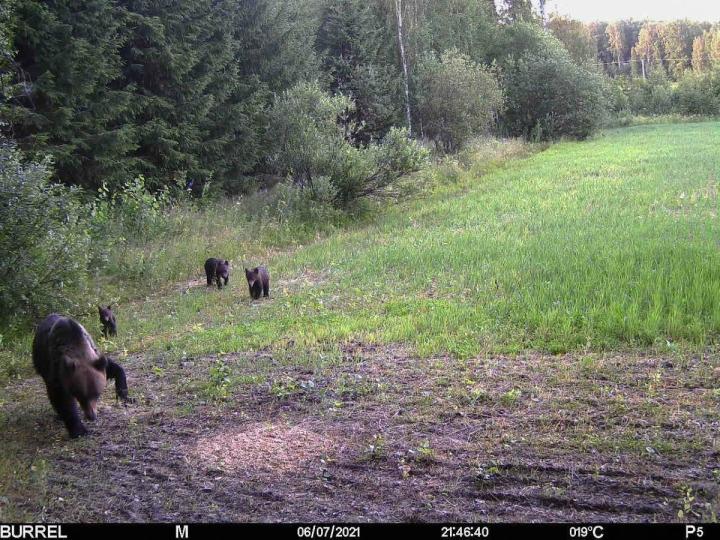 Loukkaantuneen karhuemon mukana liikkuu neljä pentua.