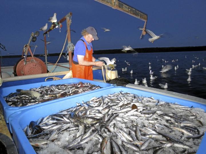 Aika lähelle kalastaja saaliin koon arvasi. Päijänteestä nousi 550 kiloa muikkua sekä vähän muutakin kalaa joukossa.