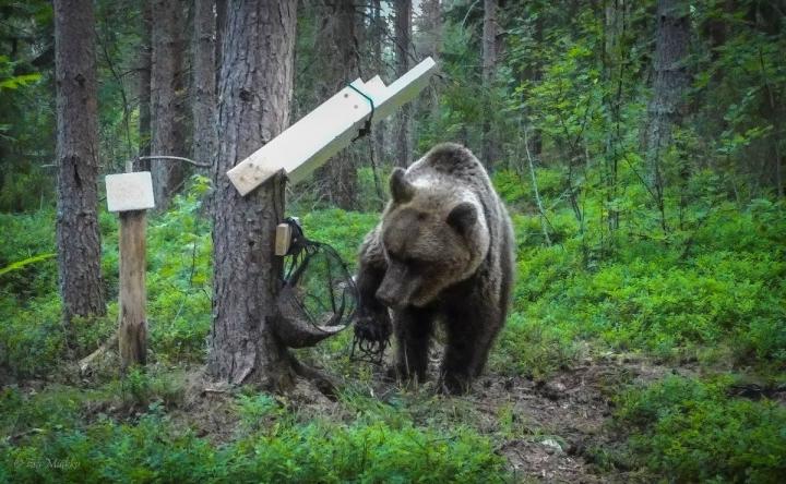 Pienpyydysrautaan tassunsa loukannut karhu tallentui Lieksassa asuvan Esa Muikun riistakameraan.