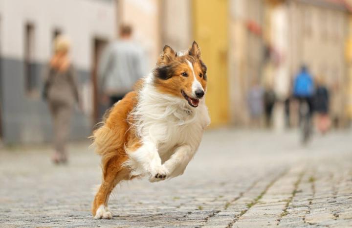 Lassiella on kiire takaisin kotiin.