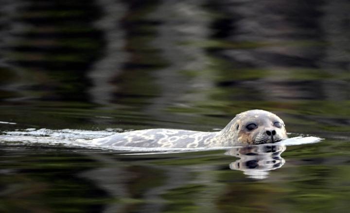 Saimaan Pihlajavedeltä löytyi heinäkuun 2. päivänä kalaverkkoon kuollut saimaannorpan kuutti. LEHTIKUVA / Jussi Nukari