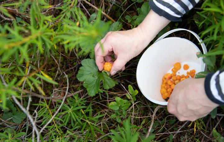 Lakkoja kannattaa etsiä korpisoilta, sillä helteen ja kuivuuden takia avosoilta lakkoja ei välttämättä löydy.