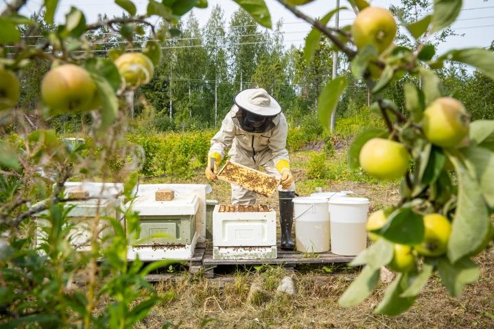 Mehiläistarhaajan vuosi ei pääty kesähunajien sadonkorjuuseen.