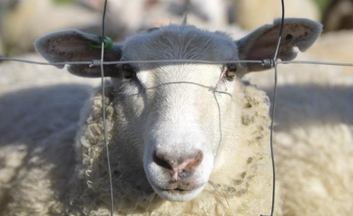 Kuvan lammas ei liity käräjätuomioon. LEHTIKUVA / VESA MOILANEN