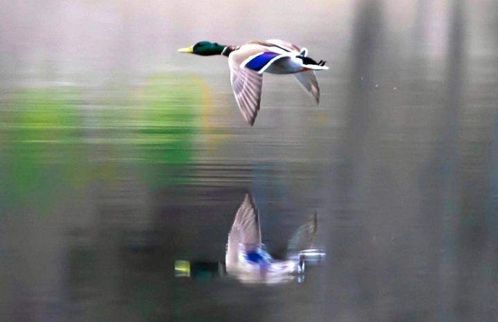 Sinisorsa on siitä harvinainen vesilintu, että sen kanta on Suomessa jopa runsastunut.