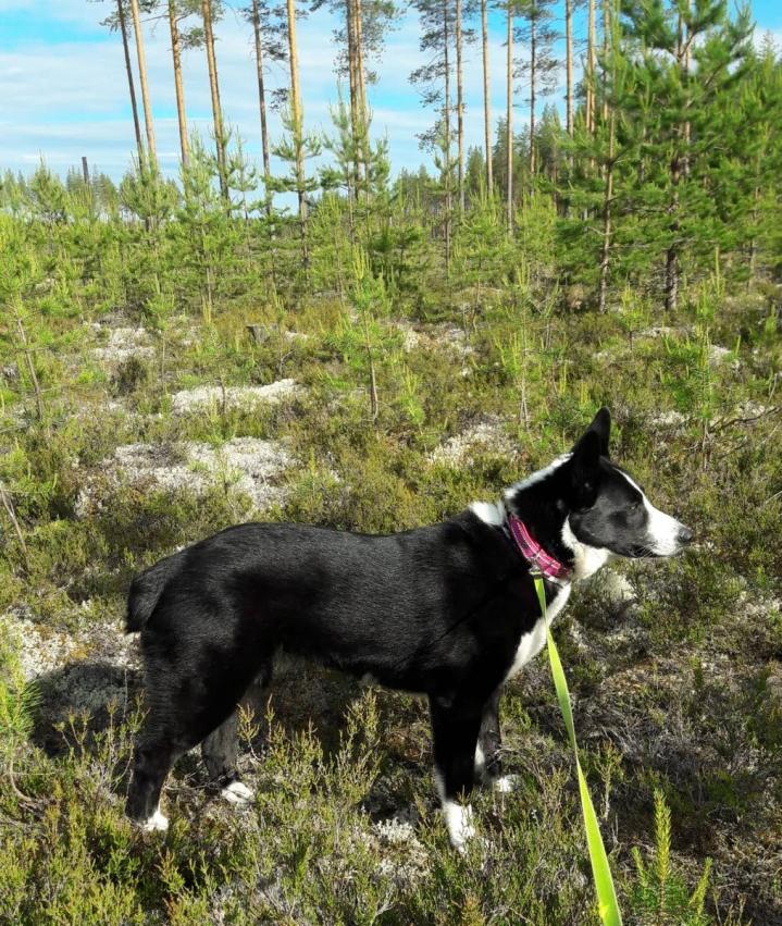 Kolatselän Xena on lieksalaisen Tarja Rautiaisen metsästyskaveri.