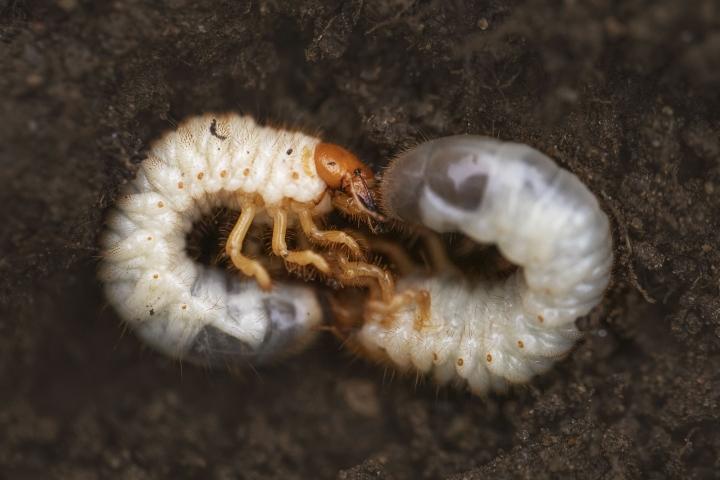 Tarhaturilaan toukka on näyttävän näköinen, mutta lymyää piilossa esimerkiksi nurmikon alla.