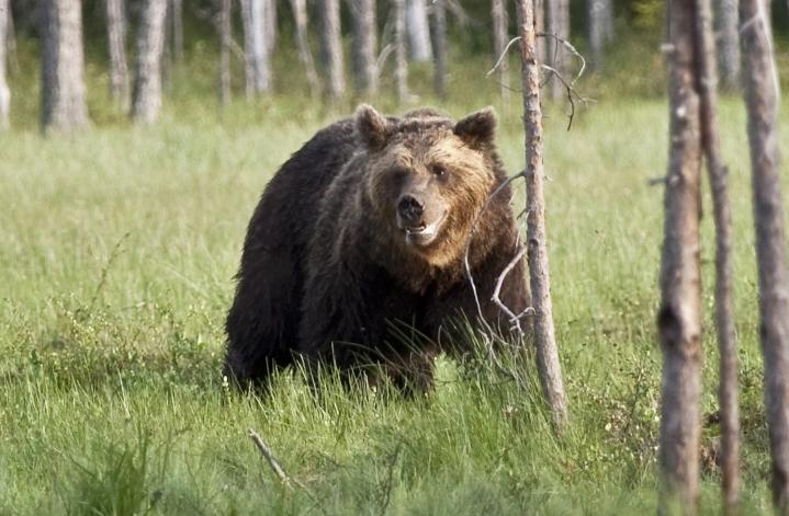 Maa- ja metsätalousministeriön mukaan tälle vuodelle voidaan myöntää 457 karhunkaatolupaa. LEHTIKUVA / PERTTI KANGASNIEMI