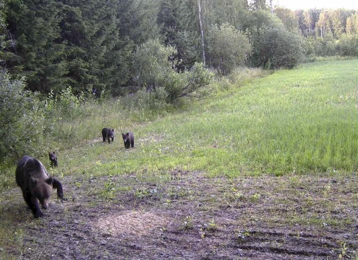 Myös Joensuussa on liikkunut pienpetoraudan vuoksi vahingoittunut karhu. Poliisin heinäkuussa välittämä handout-kuva loukkaantuneesta naaraskarhusta, jolla on vasemmassa etukäpälässään pienpetojen pyytämiseen tarkoitetut raudat. LEHTIKUVA / HANDOUT
