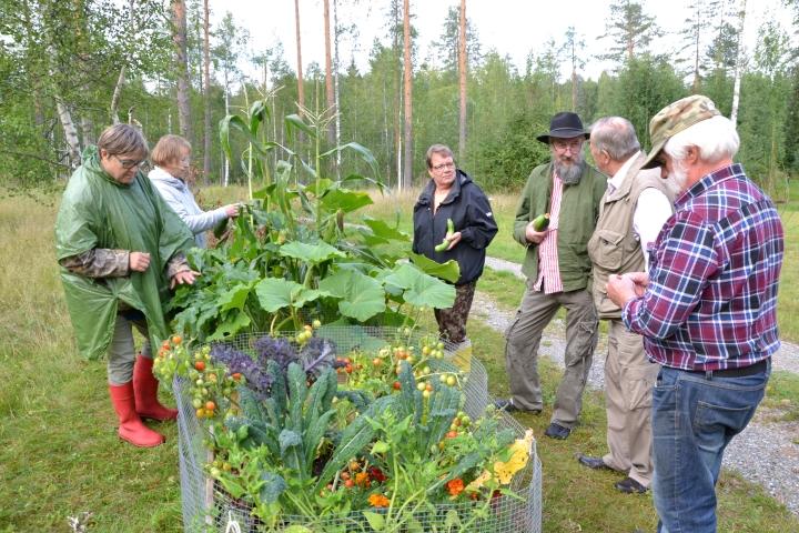 Tänä kesänä arboretumiin tehtiin myös satolaatikko, jonka yhdessä kasvatettua satoa ihastelevat Maire Kärkkäinen (vas.), Raili Rissanen, Tuija Kastinen, Markku Martiskainen, Vilho Huuskonen ja Eino Ruokolainen.