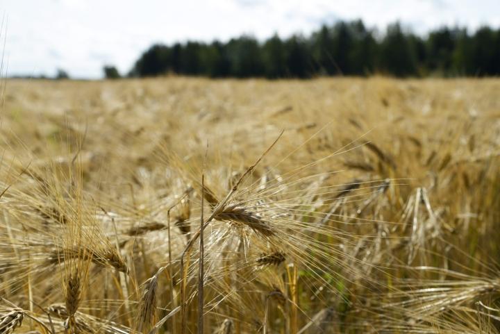 Kesän äärisääoloista kärsivät eniten ohra ja kaura sekä härkäpapu. LEHTIKUVA / JORMA KÄRKKÄINEN