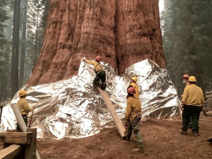 Mammuttipetäjiä pyritään suojaamaan liekeiltä Sequoian kansallispuistossa. Lehtikuva/AFP