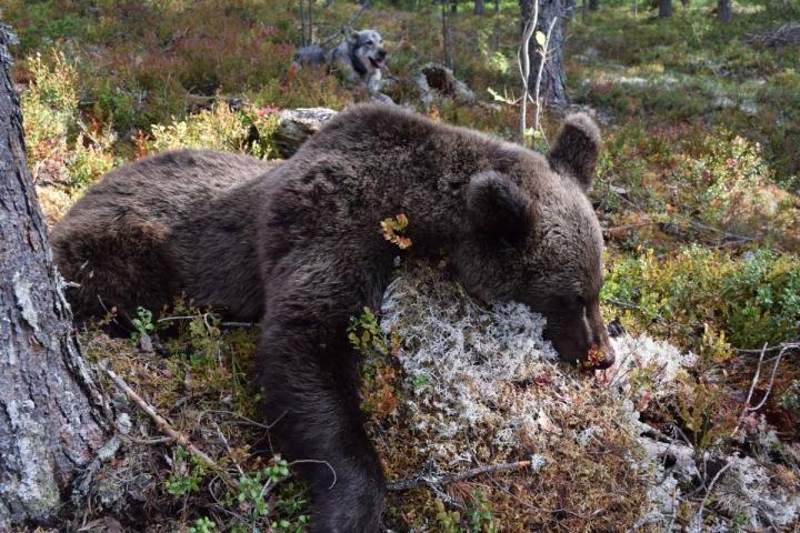 Karhuja on ollut Pohjois-Karjalan metsissä tänä syksynä paljon. Maakuntaan myönnetyistä kaatoluvista on käyttämättä enää seitsemäsosa.