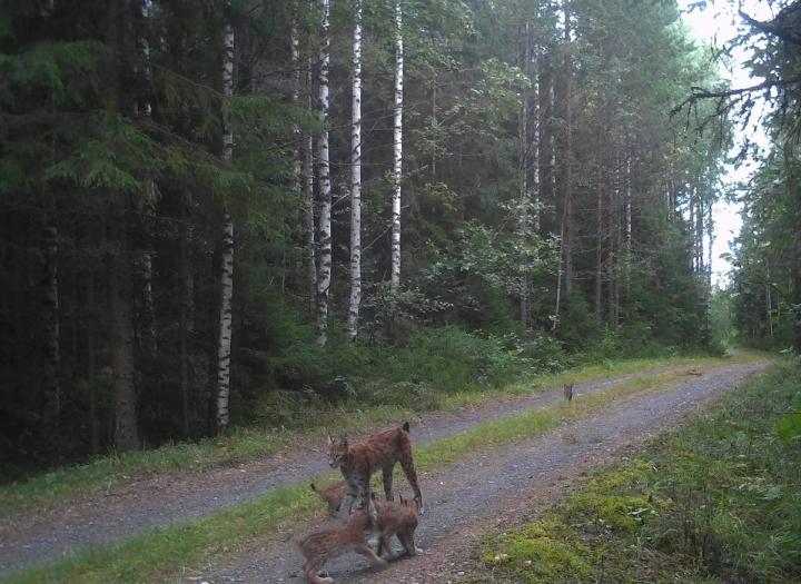 Ilvesemo ja sen neljä pentua tallentuivat Pohjois-Karjalan rajavartioston riistakameraan 17. elokuuta.