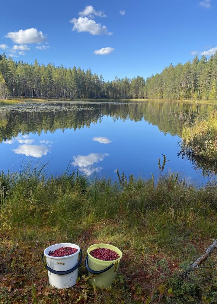 Puolukkaretki tuotti mainion tuloksen Mustalampi-nimisen metsälammen rannalla 10. syyskuuta.