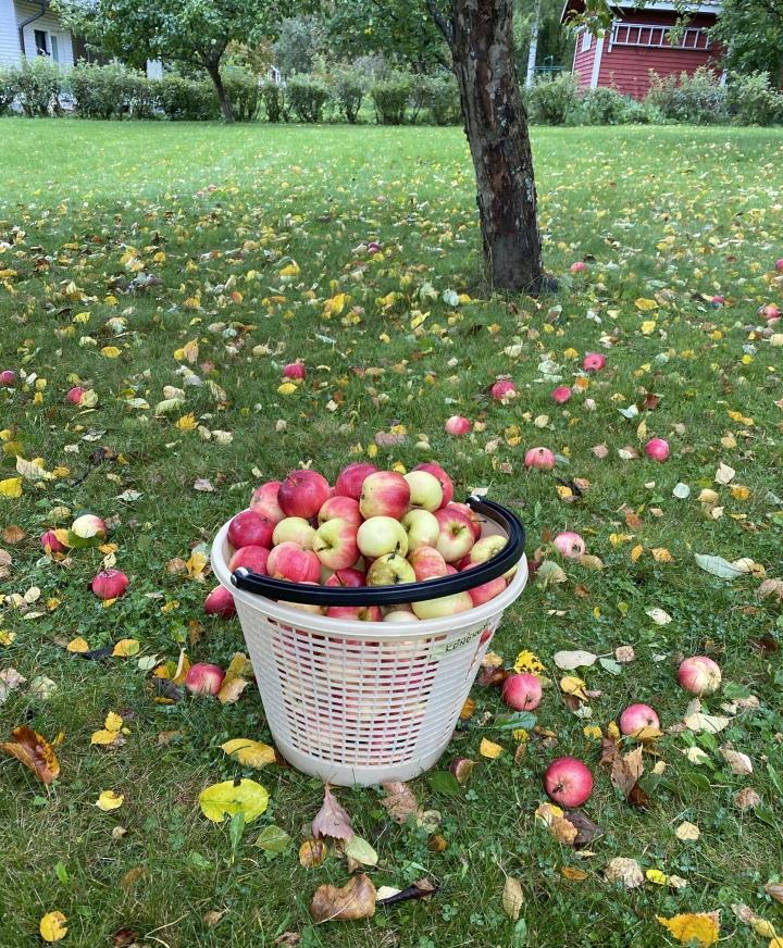 Syksyn omenasato on tänäkin vuonna ollut erinomainen.