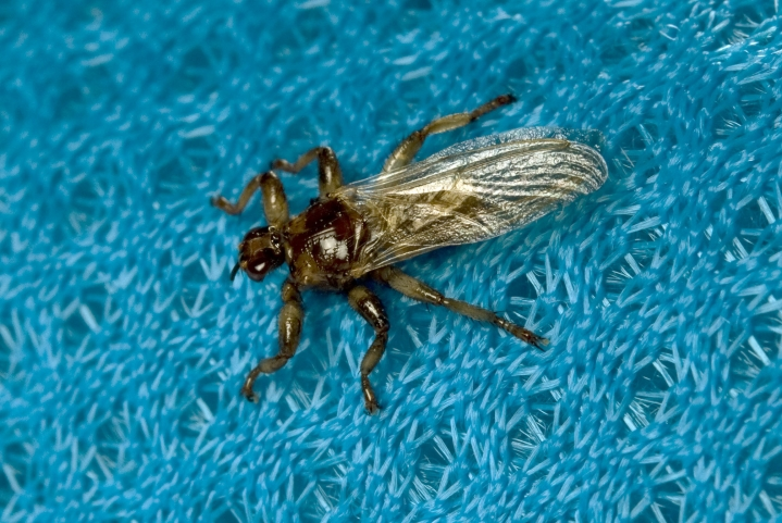 Hirvikärpänen on rotevahko 5–7 millimetriä pitkä hyönteinen.
