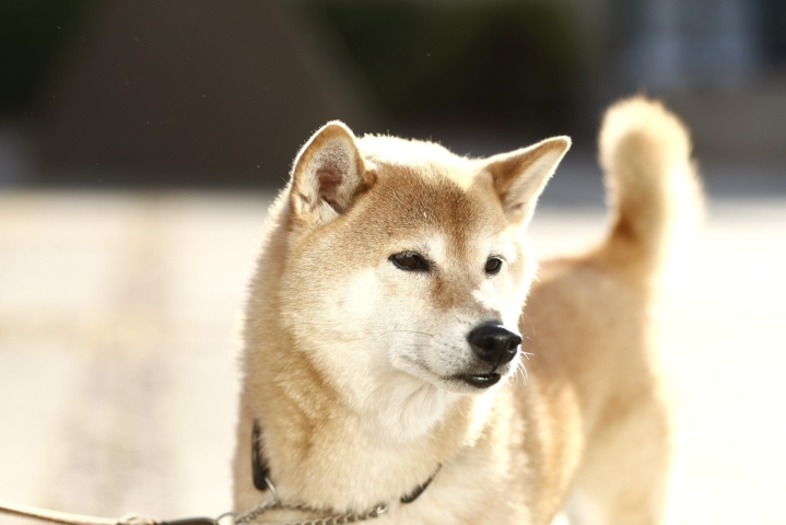 Moni onkin hankkinut korona-aikana ensimmäisen koiransa. Totuttaminen yksinoloon tulisi aloittaa pienestä pitäen. LEHTIKUVA / Roni Rekomaa