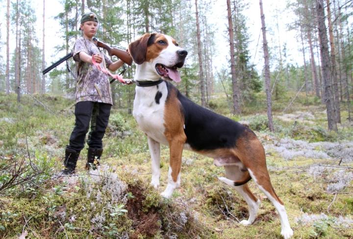 Suomenajokoiralla metsästämistä Rino Soikkeli, 13, on päässyt kokeilemaan Martti Turusen ja tämän kahden koiran kanssa. Tässä mukana on 4-vuotias Mehtäpirun Moku, joka Soikkelin mukaan on mukava ja rauhallinen, metsässä hyvin toimiva koira.