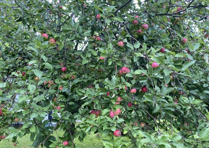 Omenasato on tänä syksynä erinomainen.