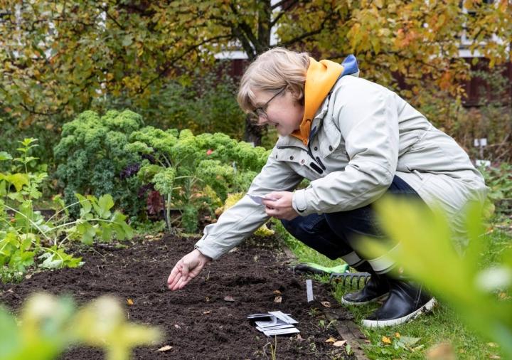Maarit Sallinen-Uusoksa kylvämässä vielä siemeniä Kukkolan tilan puutarhassa.