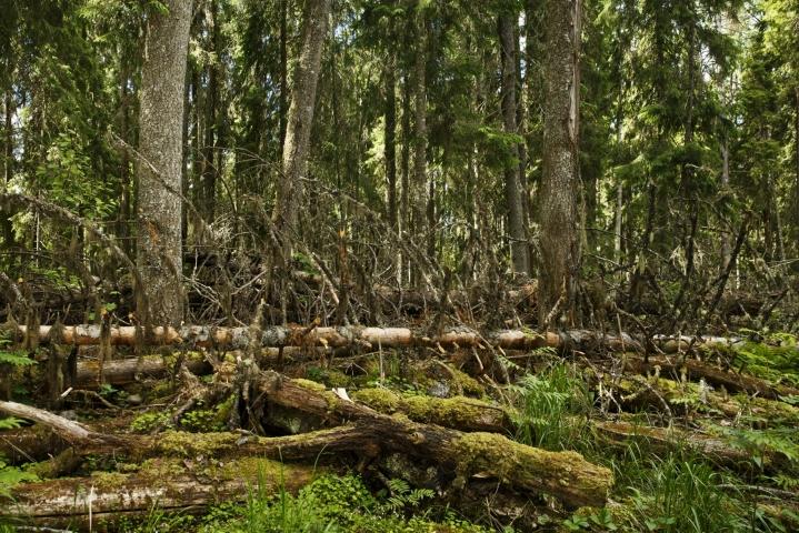 Tutkimustulokset osoittavat, että puiden lahoamisnopeus ja hyönteisten rooli lahoamisessa riippuvat pitkälti ilmastosta. Lehtikuva / Roni Rekomaa