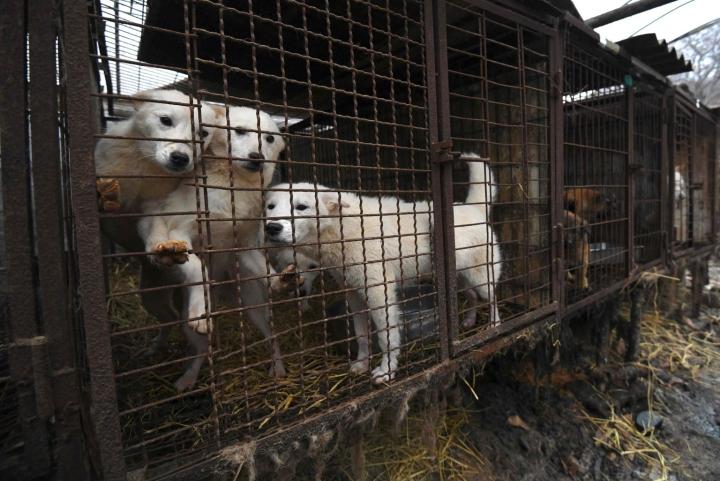 Koiranliha on pitkään ollut osa eteläkorealaista ruokakulttuuria, mutta koiransyönti on maassa vähentynyt. Kuva on eteläkorealaiselta koiratarhalta vuodelta 2017. LEHTIKUVA / AFP