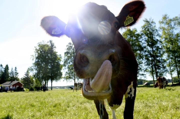 Kalajoella pelastuslaitos hälytettiin pelastamaan karkumatkalla kiipeliin joutunutta lehmää. Kuvan lehmä ei liity tapaukseen. Lehtikuva / Martti Kainulainen
