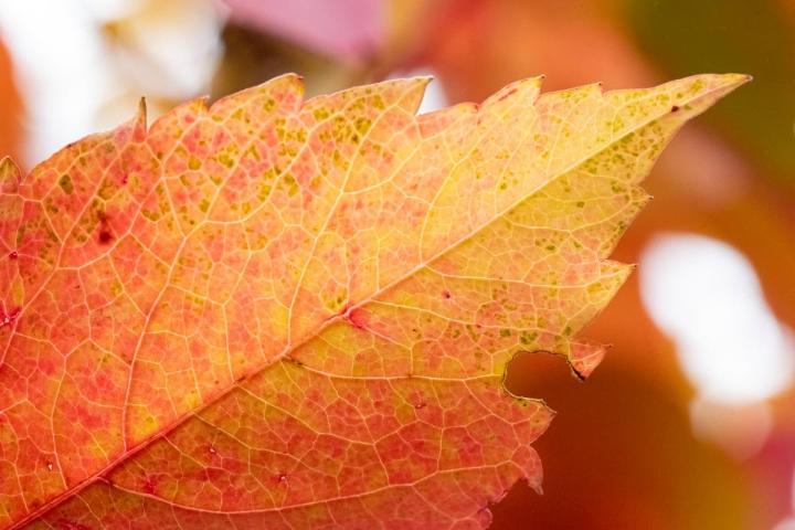 Tämän syksyn ruskassa on paljon värejä ja värisävyjä.
