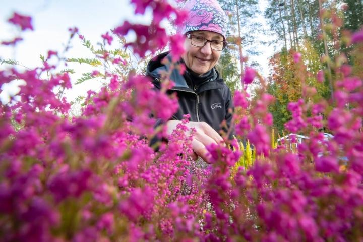 Lehmon puutarhalla työskentelevän puutarhuri Marjo Suoniemen mukaan kellokanervat ovat kanervista suurikukkaisimpia.