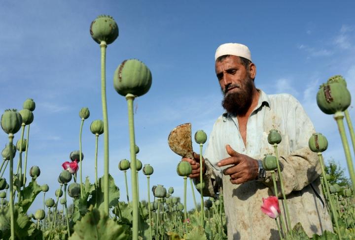 Oopiumiunikko on merkittävä viljelyskasvi osassa Afganistania, muun muassa Talebanin tukialueilla Helmandin ja Kandaharin maakunnissa. LEHTIKUVA / AFP