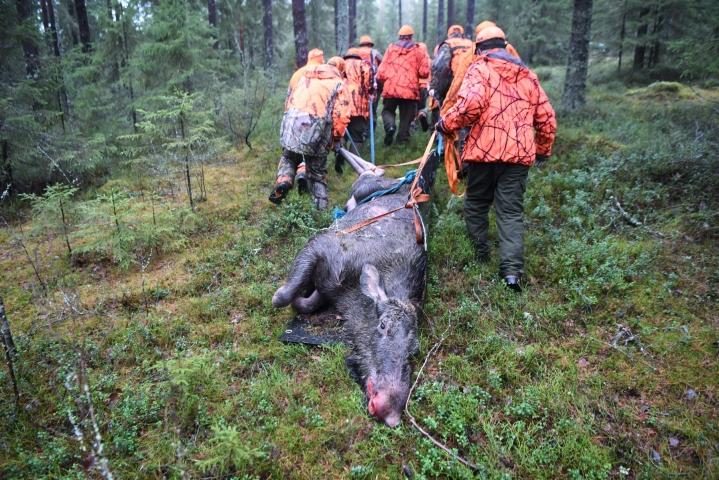 Ruokavirasto kehottaa metsästäjiä tarkkailemaan hirvien keuhkoja mahdollisten ekinokokkirakkuloiden varalta. LEHTIKUVA / Jussi Nukari