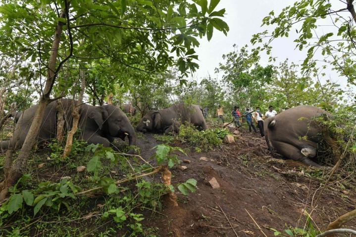 Salamoinnin epäillään surmanneen ainakin 18 norsua Assamin osavaltiossa koillis-Intiassa viime keväänä. Viranomaiset aloittivat tapauksen tutkinnan toukokussa. LEHTIKUVA/AFP