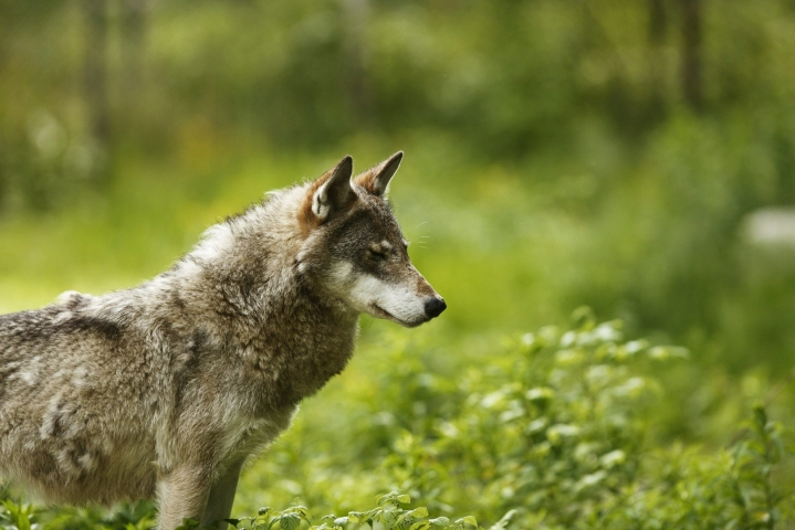Poliisi selvittää, onko Kauhajoella koiranulkoiluttajaan käynyt kiinni susi. Kuvan susi ei liity tapaukseen vaan on kuvattu Ähtärin eläinpuistossa. LEHTIKUVA / RONI REKOMAA