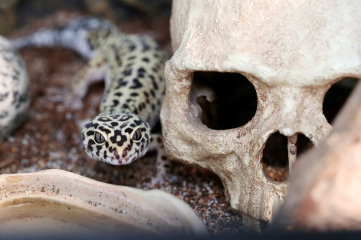 Hugo on nimestään huolimatta naaras leopardigekko.