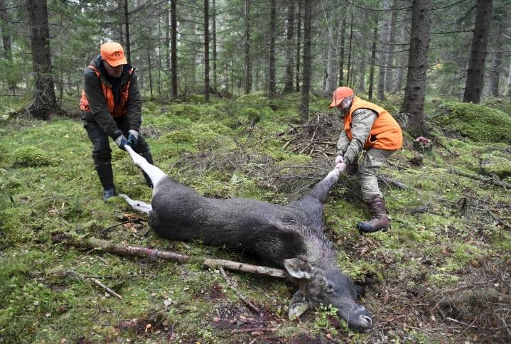 Hirven metsästysaika päättyy koko maassa 15. tammikuuta. LEHTIKUVA / JUSSI NUKARI