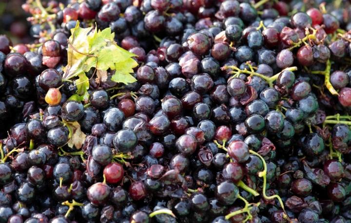 Ruotsissa on ammattimaista viinintuotantoa noin 150 hehtaarilla. Kuvituskuva. LEHTIKUVA / AFP